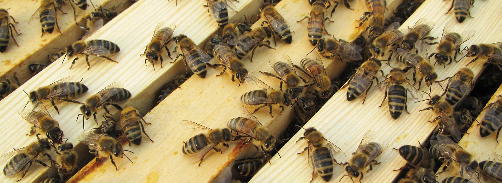 adcom werbeagentur Imkerei Bienenhort Suderwich Recklinghausen Bienenpatenschaft